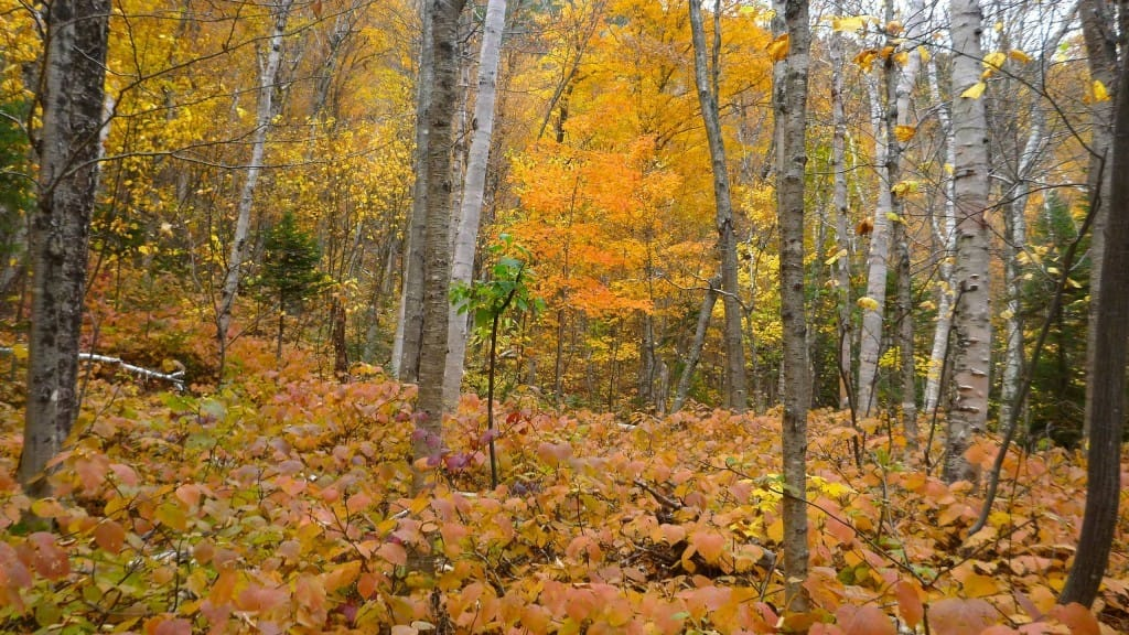 Fall colors are bright in fallen leaves and leaves remaining on trees.