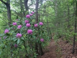 flowers bloom in a green forest along a section of the Appalachian Trail in Virginia.
