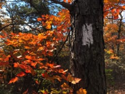 A orange and red tree in the fall.