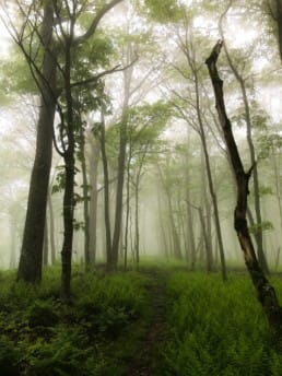 A foggy trail with very green and kind of eerie trees along the way.