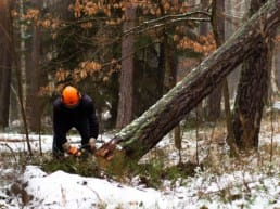 A person uses a chainsaw to cut a fallen hazard tree in a forest.